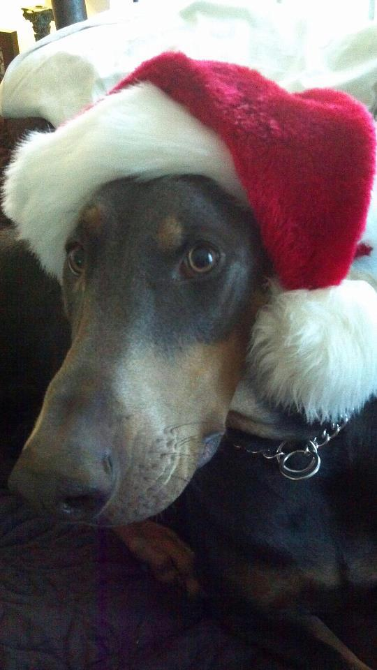 Ruby Blue Doberman with Santa Hat
